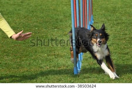 Agility dog - stock photo