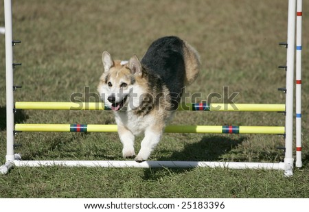 Agility Dog Clearing Jump - stock photo