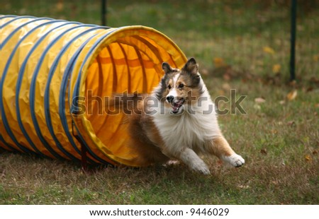 Agility Dog Exiting Tunnel