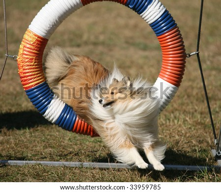 Agility dog Jumping Through Hoop in Competition