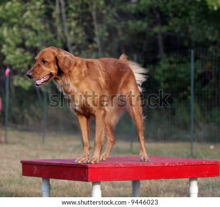 Agility Dog on Finish Table - stock photo