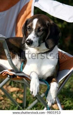 Agility Dog Waiting for his Turn on the Course - stock photo