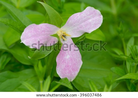 Aging White Trillium flower that has turned pink. - stock photo