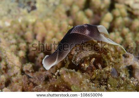 Aglajidae-Pleasant Chelidonura - stock photo