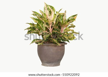 Aglaonema colorful ornamental gardens.