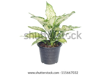 Aglaonema isolated on white background