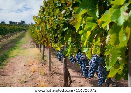 Aglianico vineyard during harvest in Campania, Italy. Aglianico is used to make Aglianico as well as Taurasi wines. - stock photo
