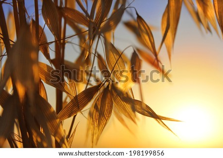 agricultural background, spikelets of oats at sunset - stock photo