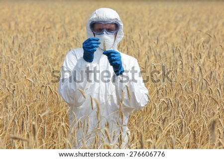 agricultural engineer on field examining ripe ears of grain