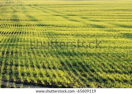 Agricultural field background with small plants - stock photo