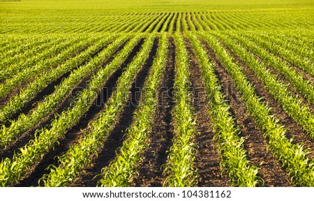 agricultural field on which grow up corn - stock photo