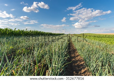 Agricultural field with onion in spring - stock photo