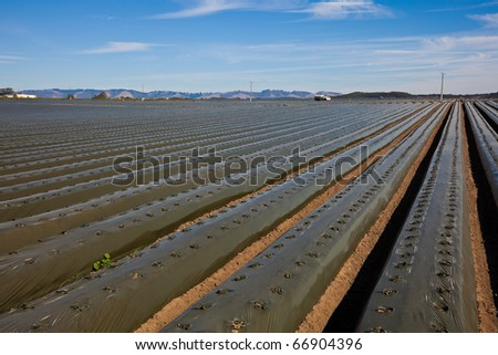 Agricultural field with recently planted lettuce