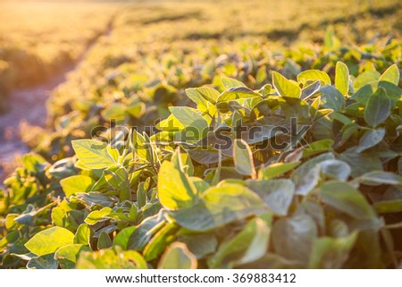 Agricultural green field at sunset - stock photo