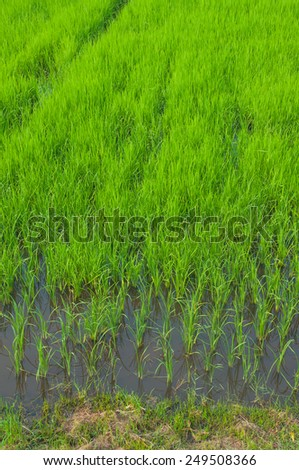 agricultural green field at Thailand - stock photo