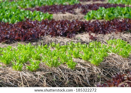 Agricultural industry. Growing vegetable and salad lettuce on field - stock photo