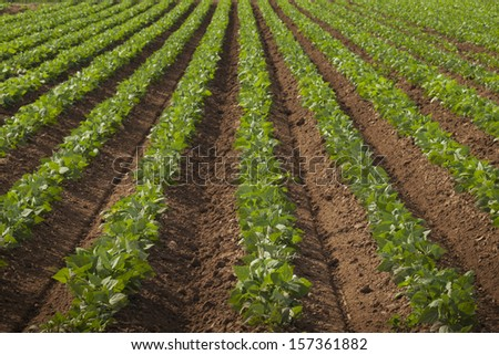 Agricultural land with row crops in Fort Collins, Colorado. - stock photo