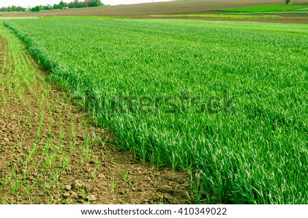 Agricultural land. Young wheat and grass. - stock photo