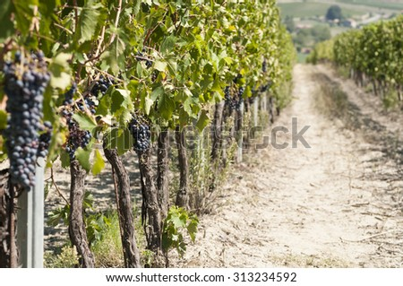agricultural landscape in Italy with a beautiful vineyard for wine production - stock photo