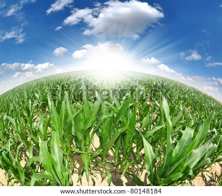 Agricultural landscape of corn field -fisheye view - stock photo