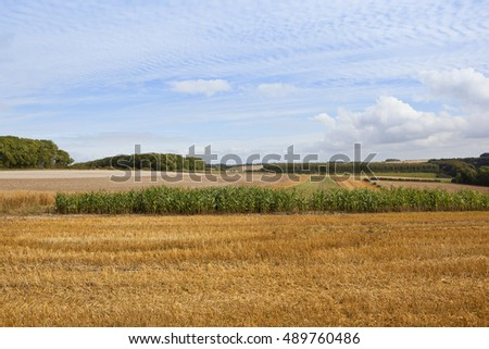 agricultural scenery with woodland crops and pheasant cover in the rural yorkshire wolds under a blue mackeral sky in late summer