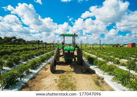Agricultural tomato field with a farming tractor.