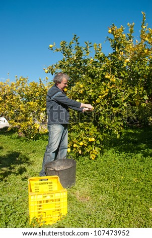 Agricultural worker picking lemons in a sunny plantation