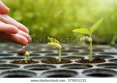 Agriculture , Baby plants seeding - Farmer hand  giving fertilizer to young baby bean plants seedling on  over green background