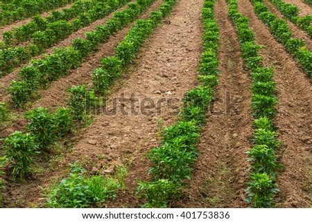 Agriculture background pepper seedlings planted in a row on the ground in the arid soil of a farm. - stock photo