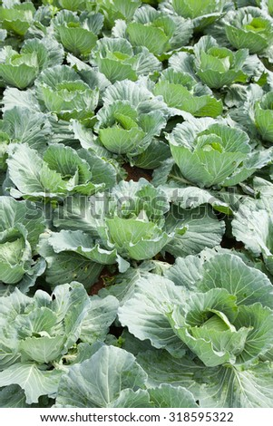 Agriculture cabbage areas planted cabbage big mountain cold.
