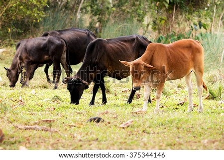 Agriculture, cattle were fed a natural in Thailand. - stock photo
