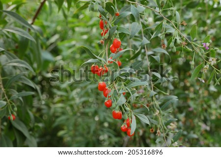 Agriculture, closeup of goji berry fruit plant, healthy eating - stock photo