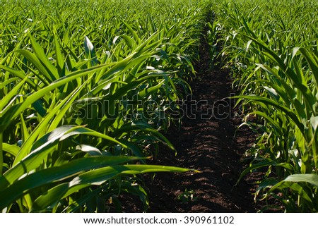 Agriculture concept. Corn and maize field - stock photo