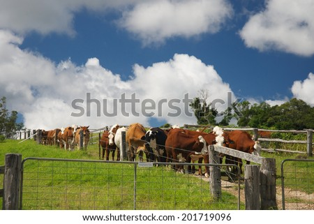 Agriculture ecology farm in Australia with cows - stock photo