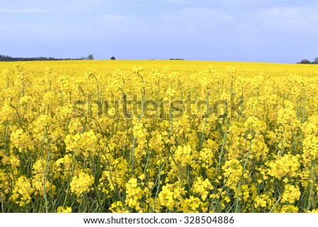 Agriculture, farming landscape in yellow. Rapeseed flowers to the horizon, grove of trees in the background. - stock photo