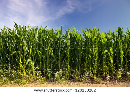 agriculture field with useful plants in summertime - stock photo