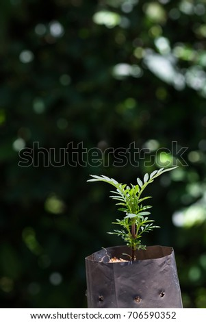 Agriculture growing marigold plant in the plastic black bag pot, sprouts of the marigold