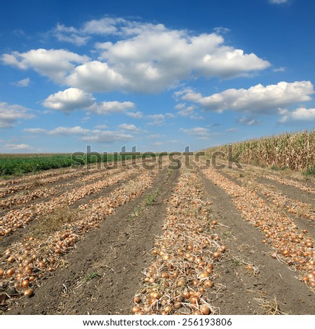 Agriculture, heap of onion after harvest in field, rural scene - stock photo