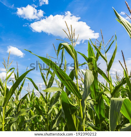 agriculture maize field with blue sky landscape - stock photo