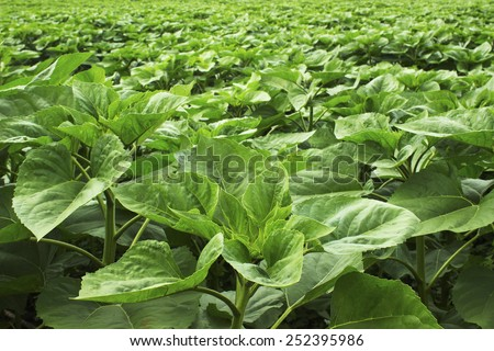 Agriculture young sunflower field - stock photo