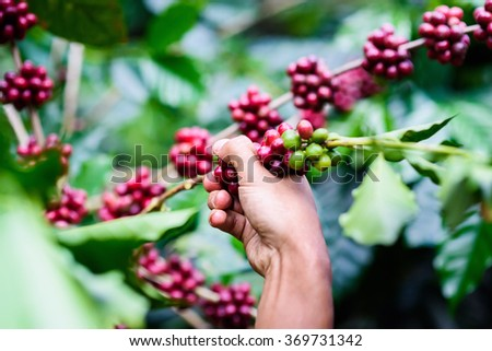 Agriculturist Hand picking red Arabica coffee beans on coffee tree - stock photo