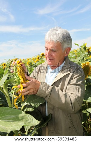 Agronomist analyzing sunflowers - stock photo