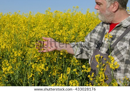 Agronomist or farmer examine blooming canola plant field, oil seed rape