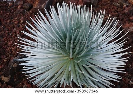 Ahinahina Silversword plant on the Haleakala Volcano in Maui, Hawaii  - stock photo
