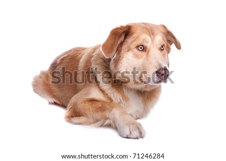 Aidi , Moroccan dog breed