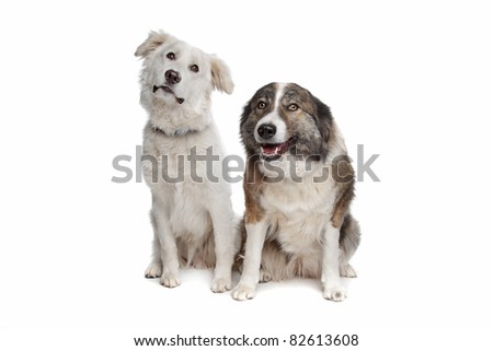 Aidi or atlas mountain dog in front of a white background