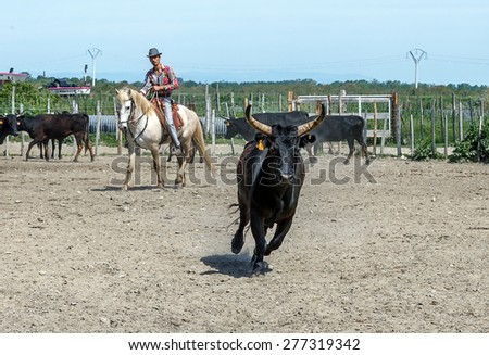 AIGUES MORTES, FRANCE - 07 MAY, 2015: Cowboy separates the Camargue bull from the herd during a show for tourists in Parc Regional de Camargue - Provence, France - stock photo