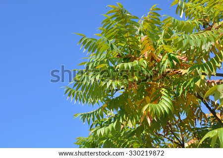 Ailanto Branches, Tree of Heaven. Ailanthus altissima. - stock photo