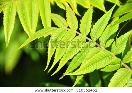 Ailanto Branches, Tree of Heaven. Ailanthus altissima. green beautiful leaves - stock photo