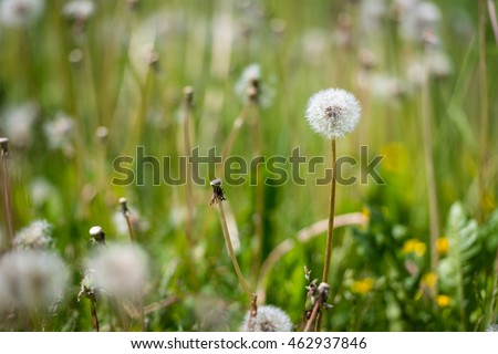 Air dandelions on a green field.